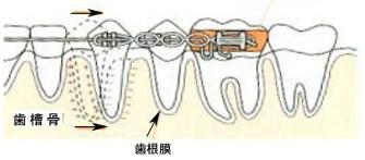 歯の動くメカニズム